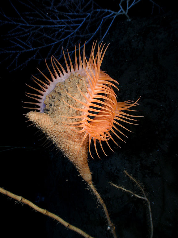 Actinoscyphia aurelia ,Venus flytrap sea anemone -2007 in the Gulf of Mexico.
