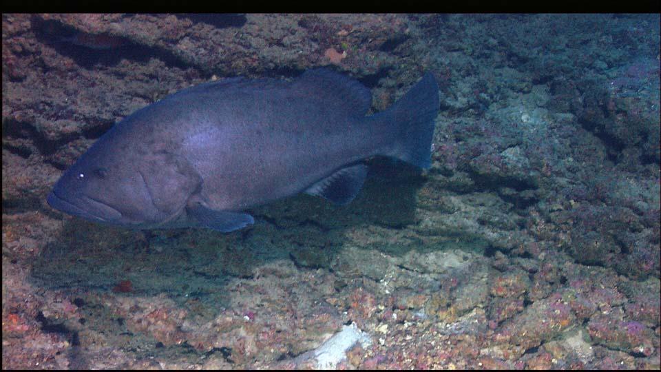 CERNIA AMERICANA  Epinephelus nigritus,Warsaw grouper,Cernia Varsavia