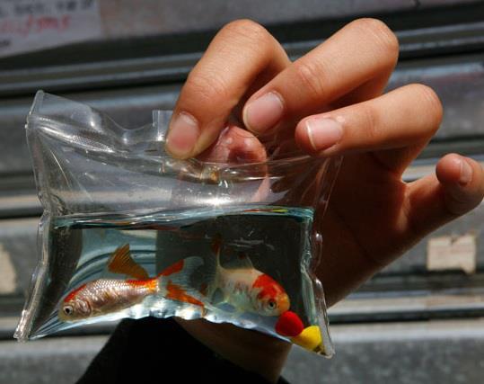 Animali vivi come portachiavi pesci rossi e tartarughe for Laghetto pesci rossi e tartarughe