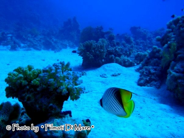 Chaetodon auriga pesce farfalla filamentoso pesce farfalla for Pesce rosso butterfly
