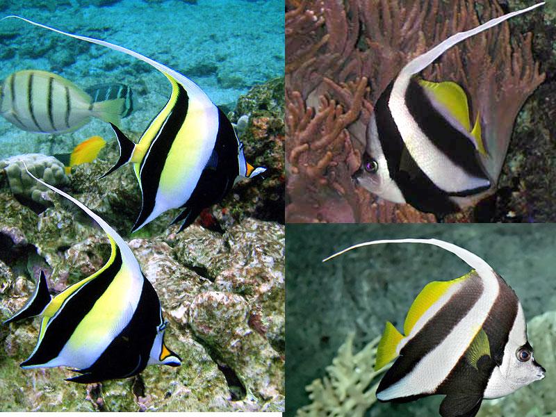 Heniochus diphreules pesce farfalla dal vessillo longfin for Moorish idol fish
