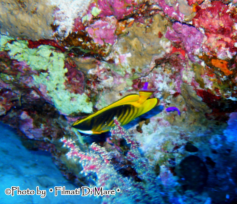 Chaetodon fasciatus pesce farfalla fasciato diagonal for Pesce rosso butterfly