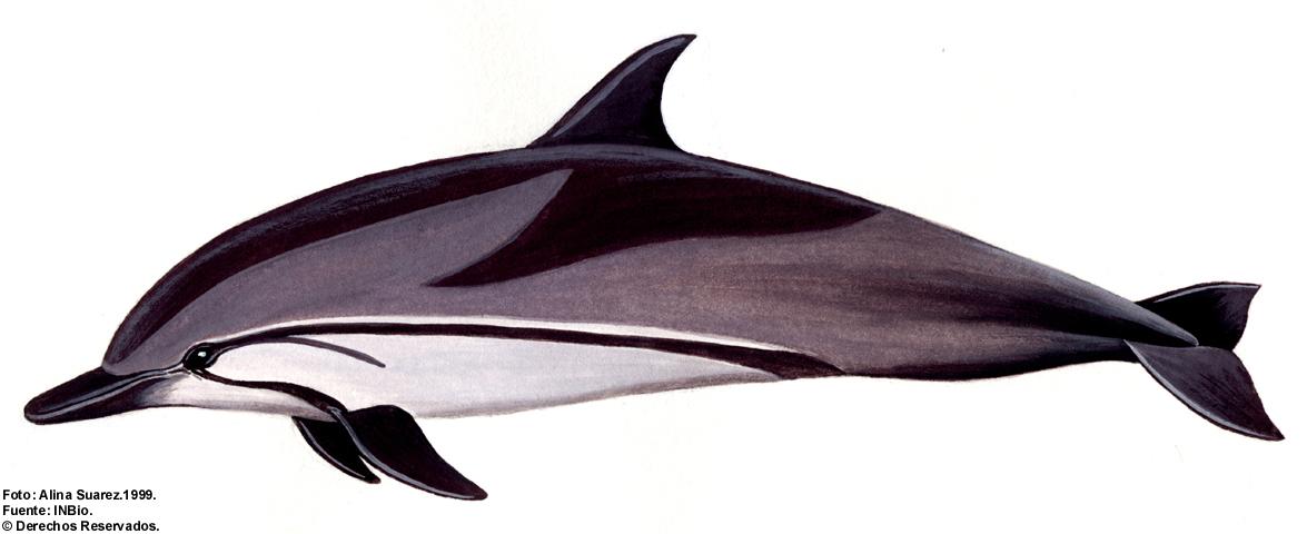 Stenella coeruleoalba,Stenella striata,delfino,Striped Dolphin