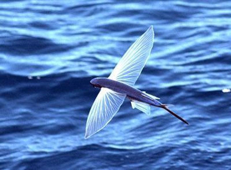Exocoetidae ,Pesci volanti,flying fish,Pesce rondine