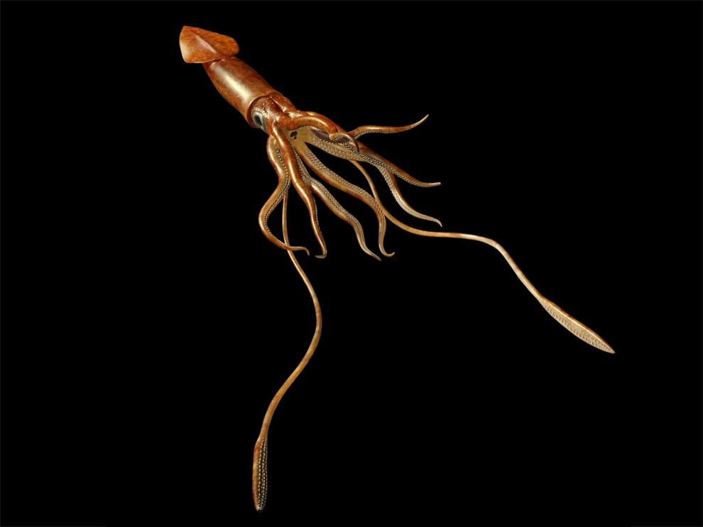 Tusoteutide ,Tusotheuthis longa,Tusoteuthis,Giant Squid