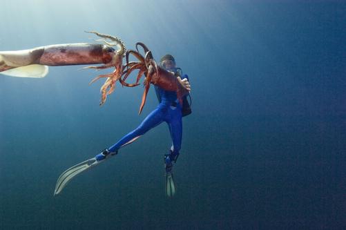 Calamaro di Humboldt, Humboldt Squid