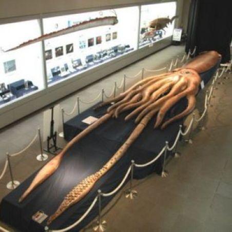 Calamaro gigante - Architeuthis Dux