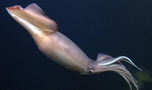 Calamaro di Humboldt ,Dosidicus gigas,Jumbo squid