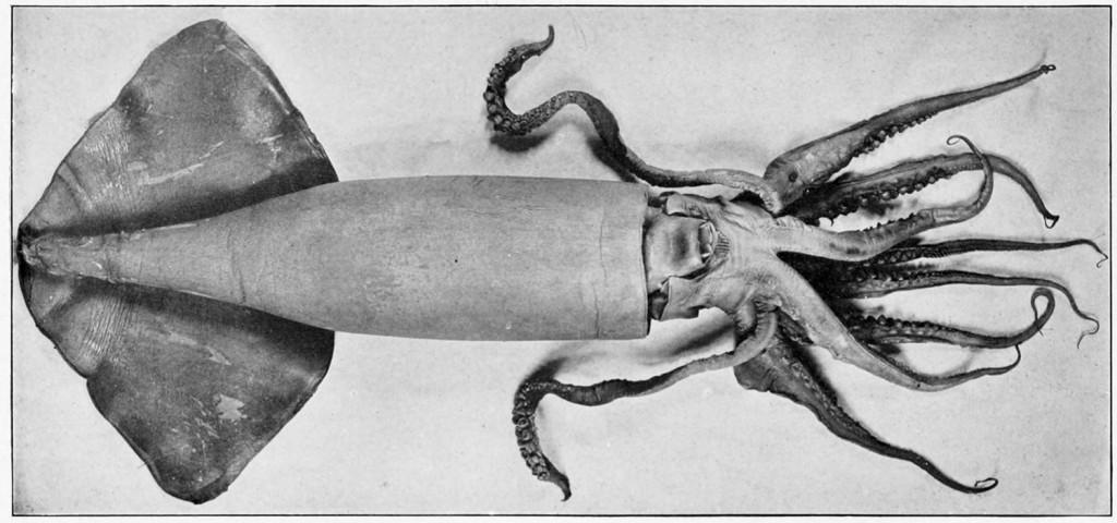 Calamaro di Humboldt ,Dosidicus gigas