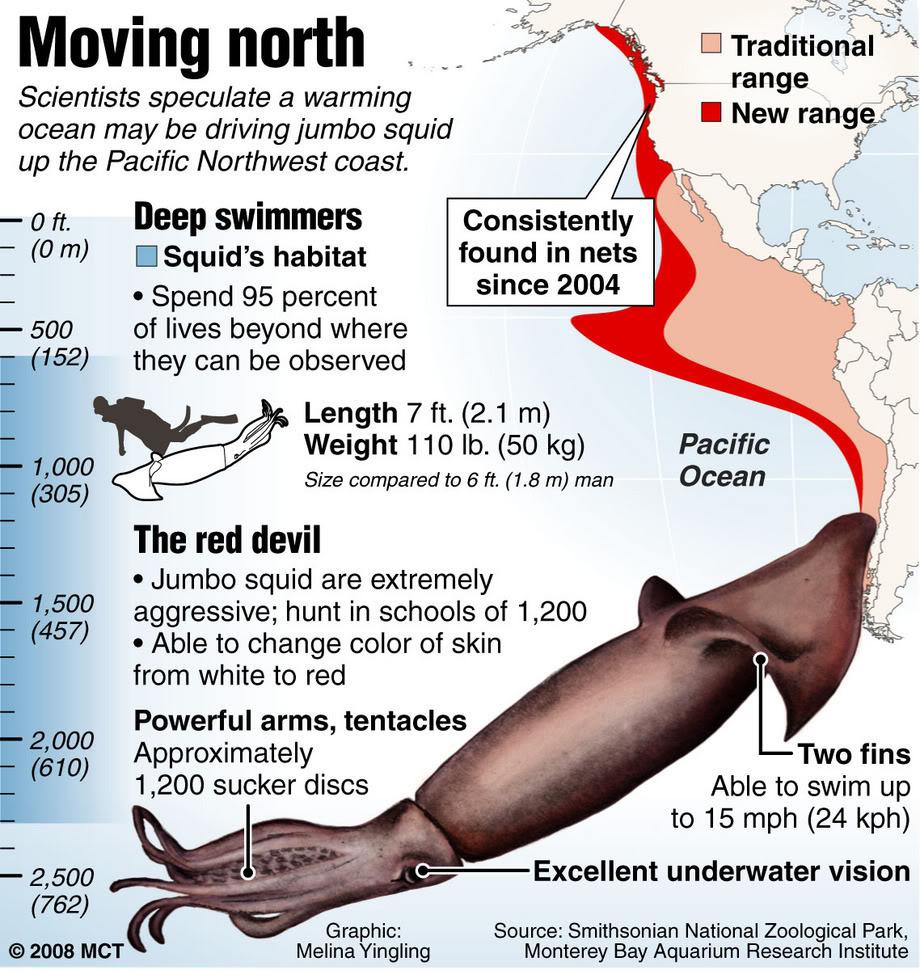 Calamaro di Humboldt ,Dosidicus gigas - JUMBOSQUID