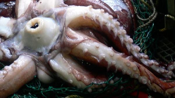 Calamaro colossale  -Mesonychoteuthis hamiltoni - un becco possente