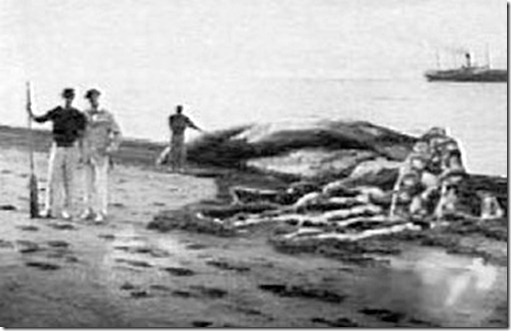Calamaro colossale - Nuova Zelanda 1888