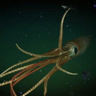 Calamaro gigante riproduzione