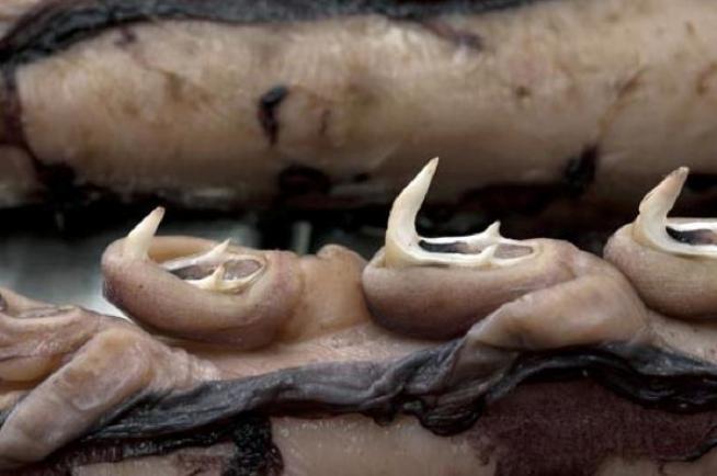 Calamaro colossale  -Mesonychoteuthis hamiltoni - ventose impressionanti e tentacoli dotati di artigli affilati come lame