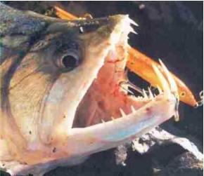 Pesce Dracula ,Pesce Vampiro,Hydrolicus Scomberoides,Payara,Cachorra