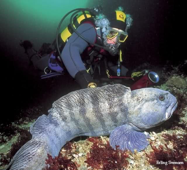 Pesce Lupo ,Lupo di mare,Anguilla lupo,Anarhichas lupus,wolffish