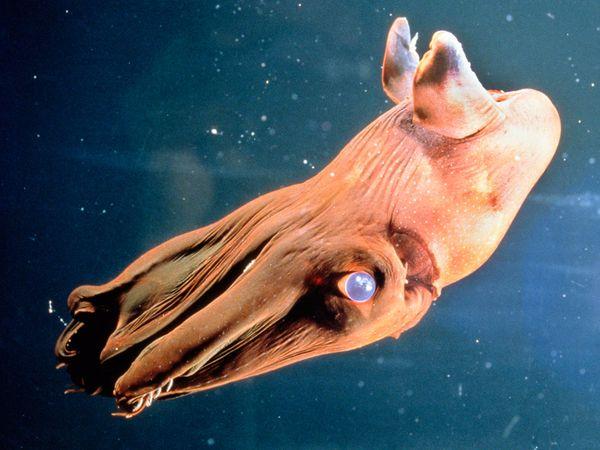 Calamaro vampiro ,Vampire squid,Vampyroteuthis infernalis, vampire squid of Hell
