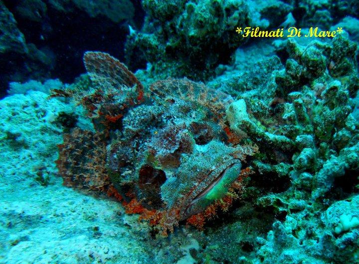 Creature marine pericolose - Scorpaenopis Diabolus , Falso Pesce Pietra, False Stonefish