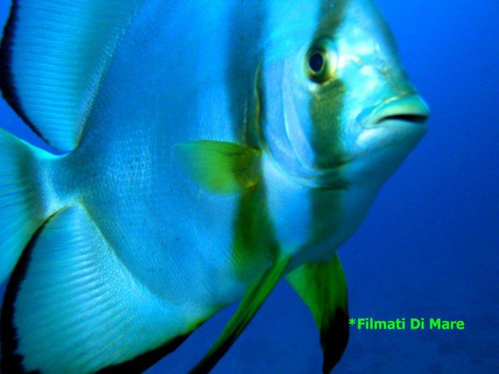 Pesce pipistrello - Platax orbicularis Famiglia: Ephippidae sharm el sheikh 9-11-2010