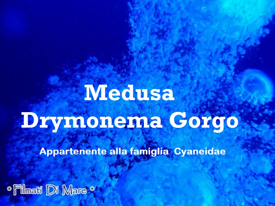 Drymonema Gorgo