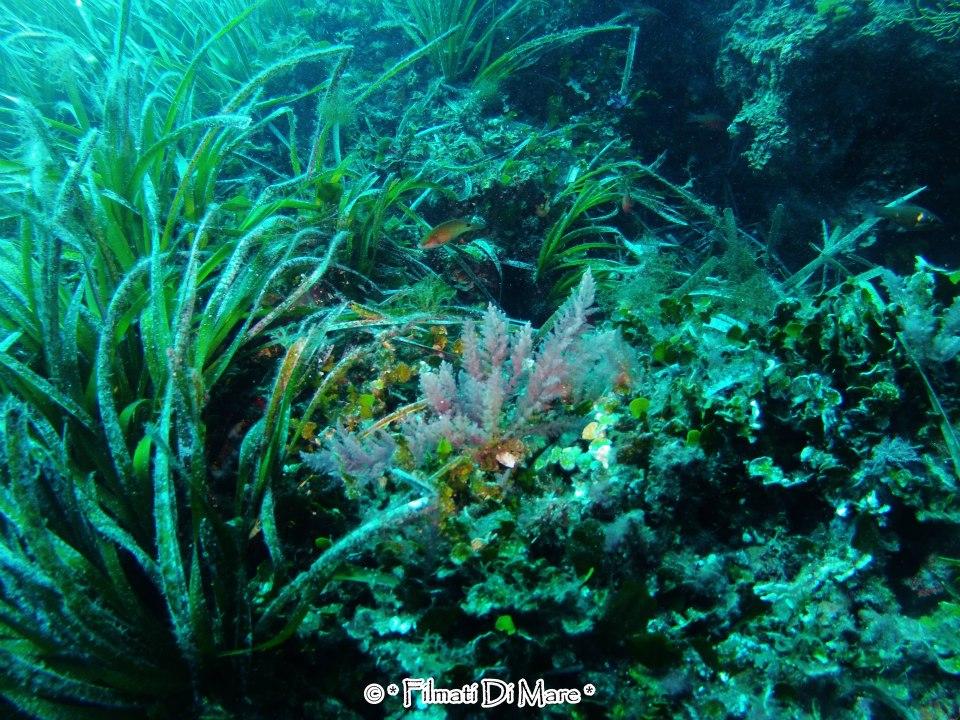 ASPARAGOPSIS TAXIFORMIS (Quella rosa) A sinistra la nostra posidonia mediterranea -Favignana- Secca del Toro  Sicilia  05-10-2012