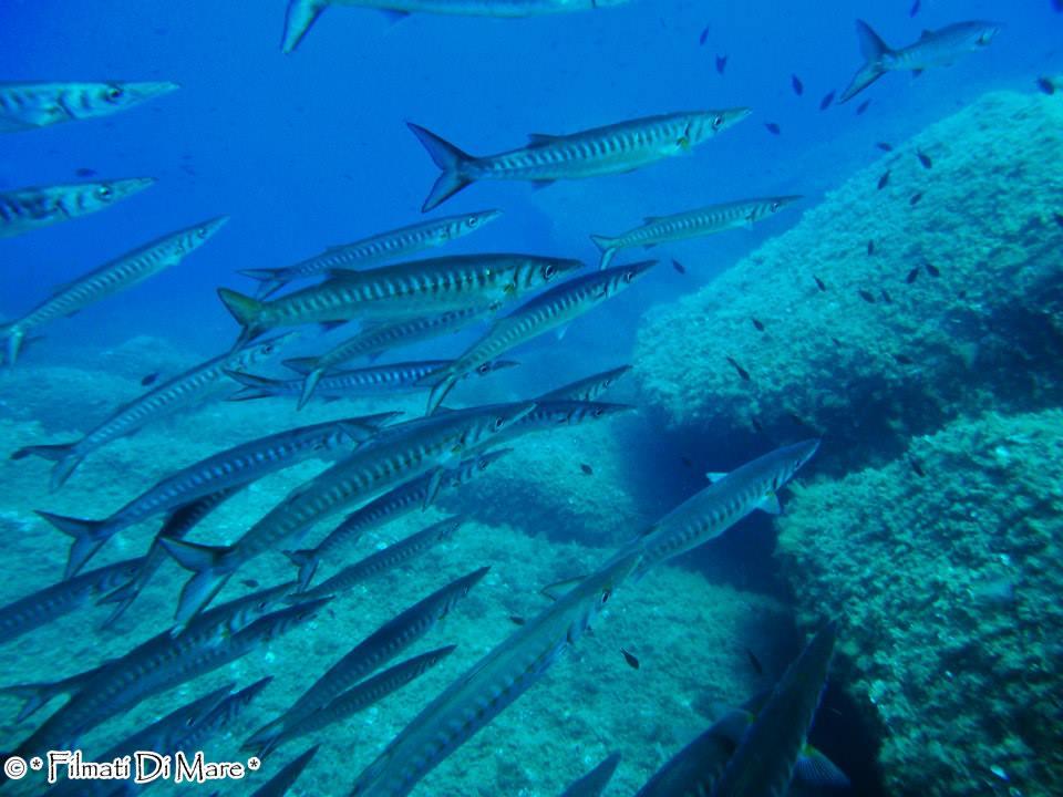 Tropicalizzazione Mediterraneo -Barracuda -Corsica 10-06-14