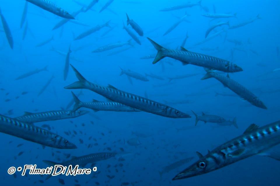 Tropicalizzazione Mediterraneo -Barracuda- Scoglio - A' Penna - Punta Campanella (NA) 30-06-2012