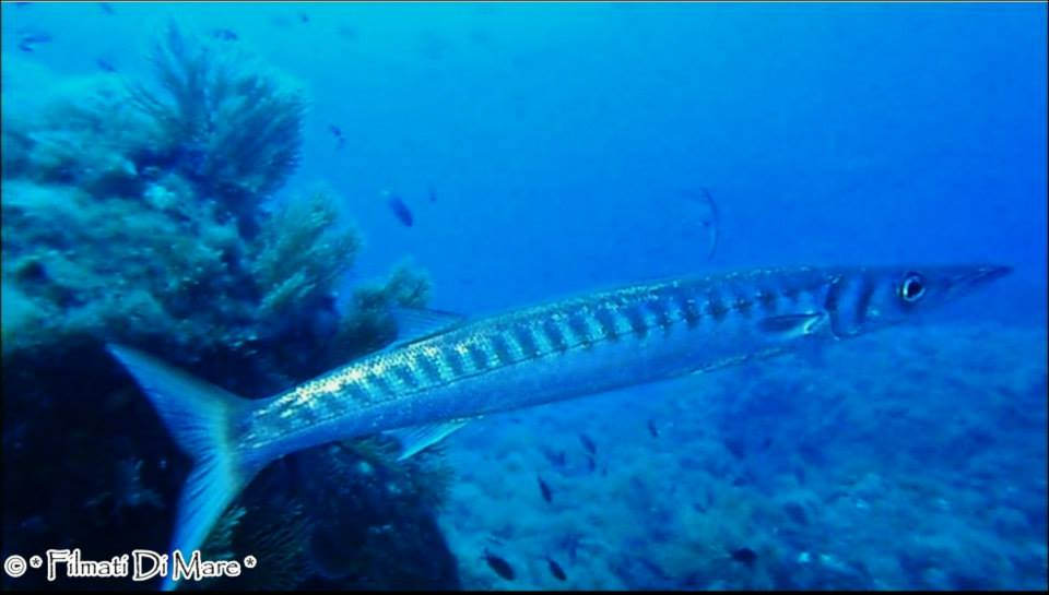 Tropicalizzazione Mediterraneo -Barracuda Vervece  (Sorrento NA) 08-09-2013