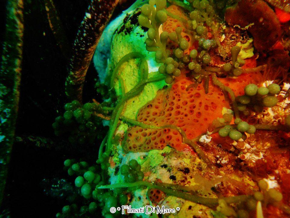 CAULERPA RACEMOSA - Favignana- Secca del Toro  Sicilia  05-10-2012 (quella verde a grappolo)