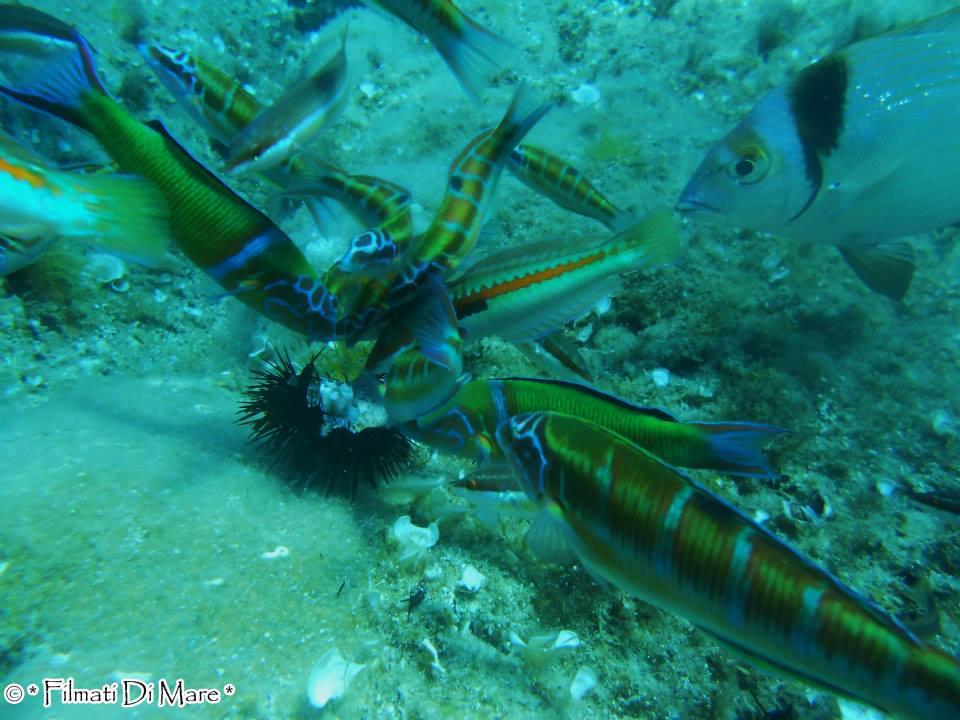 Meridionalizzazione nel Mediterraneo -Donzella pavonina Corsica 10-06-14