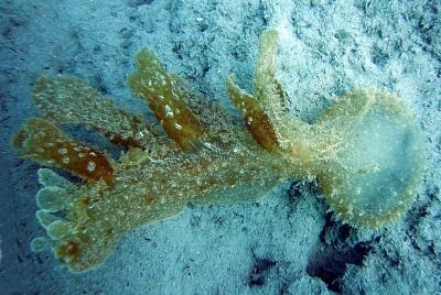 Tropicalizzazione del Mediterraneo Melibe fimbriata Cipro 15-05- 2007