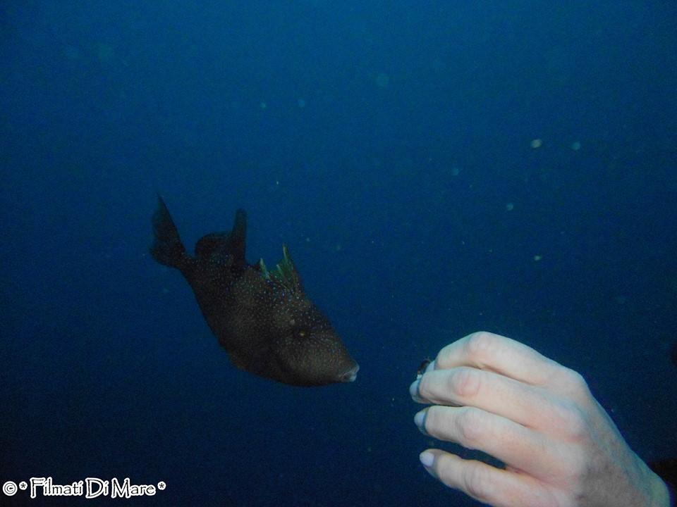 Tropicalizzazione Mediterraneo Pesce Balestra  - 26 dic. 2014  Banco S.Croce (Napoli)