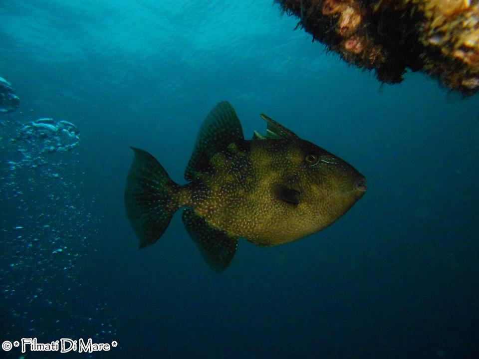 Pesce Balestra  - Banco S.Croce (Napoli)