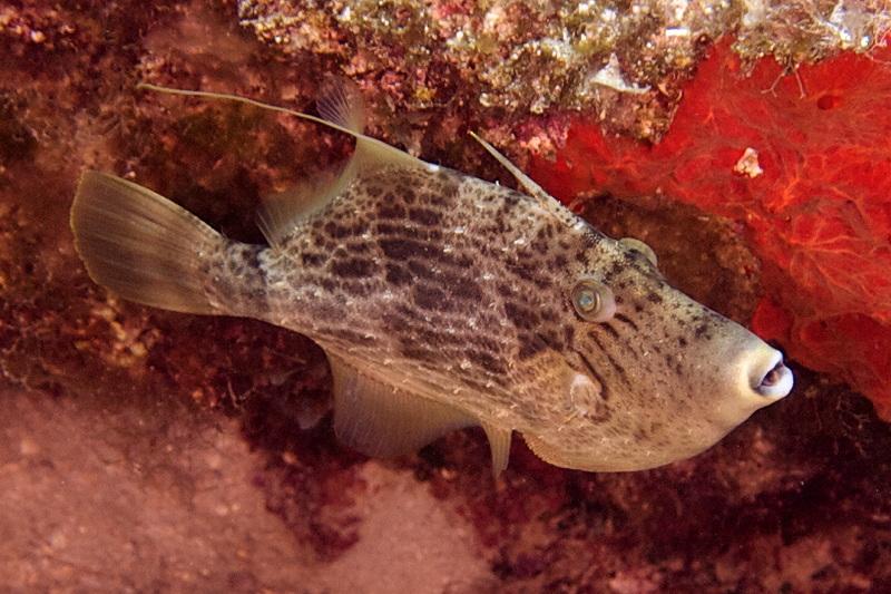 Pesce balestra  Stephanolepis diaspros