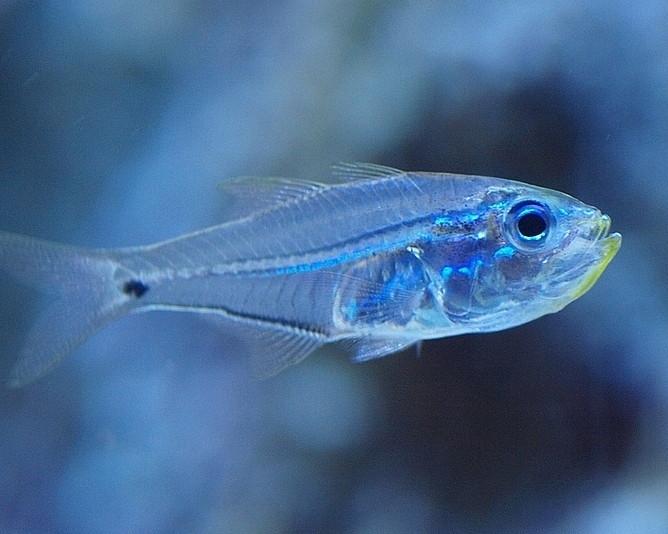 Pesce-vetro-Golden-sweeper-Parapriacanthus-ransonneti