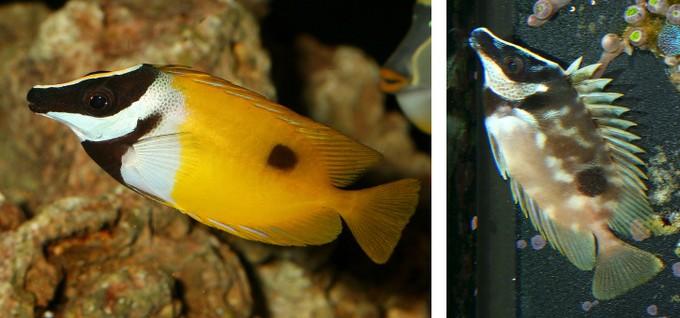 Siganus unimaculatus con colorazione normale, e con la sua colorazione notte