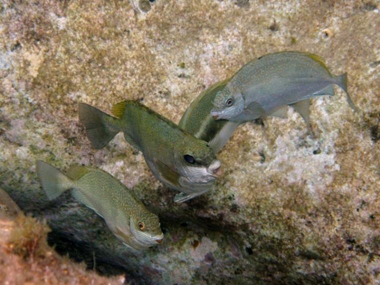 Siganus luridus - Pesce coniglio
