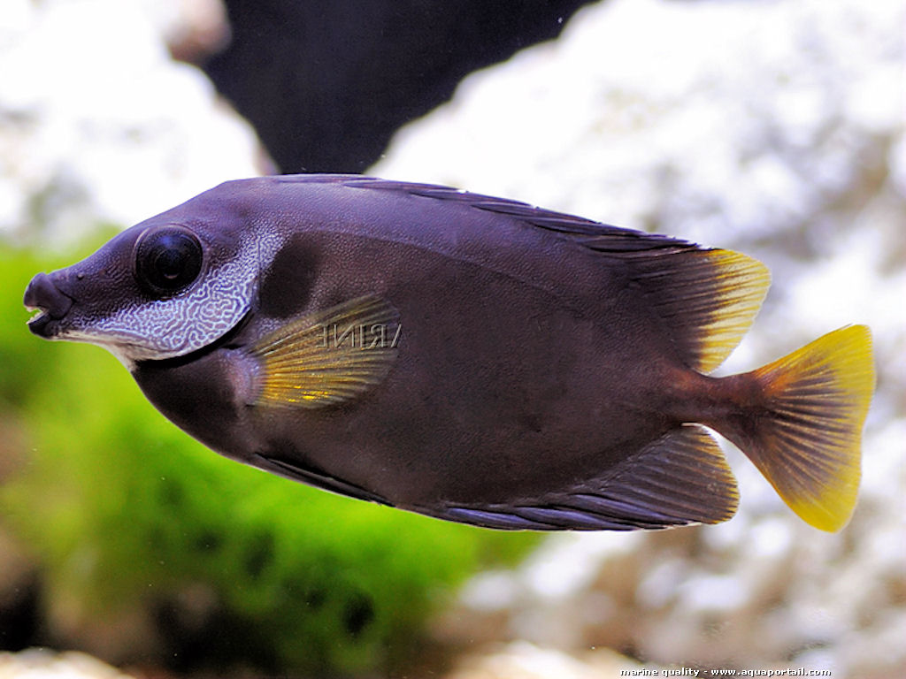 Siganus niger  -Black foxface