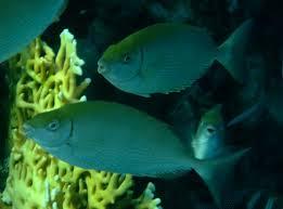 Siganus rivulatus - Pesce coniglio