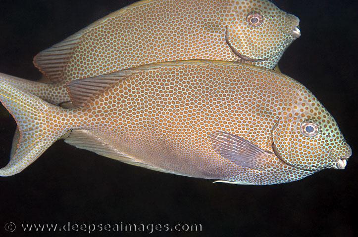 Siganus stellatus Pesce coniglio stellato Spesso in coppia