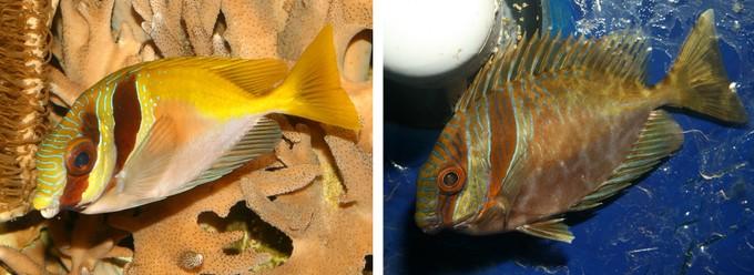 Siganus virgatus con colorazione normale, e con la sua  colorazione notte