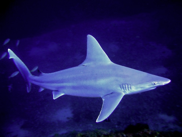 Squalo grigio ,squalo plumbeo - Carcharhinus plumbeus
