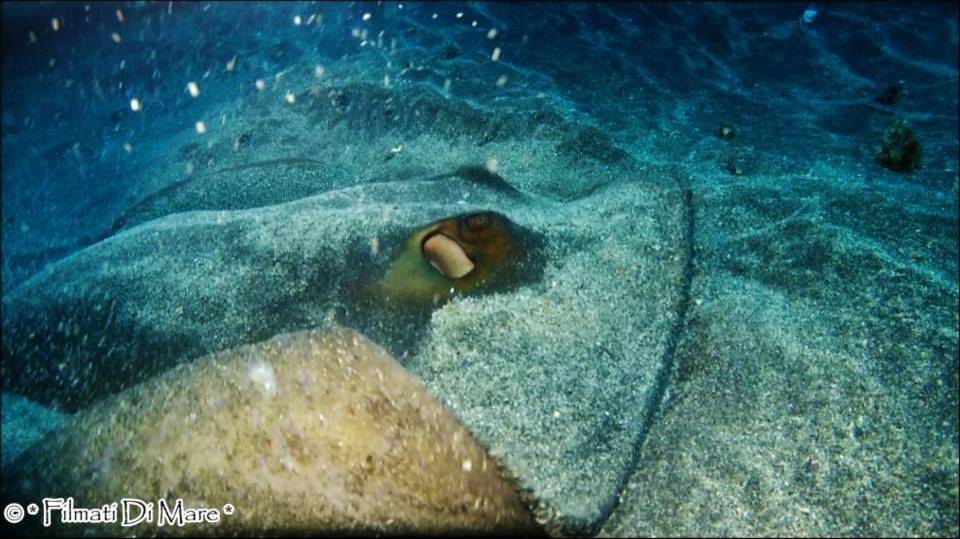 TAENIURA GRABATA - Round stingray--Stazzo (Acireale) 8-9 agosto 2013