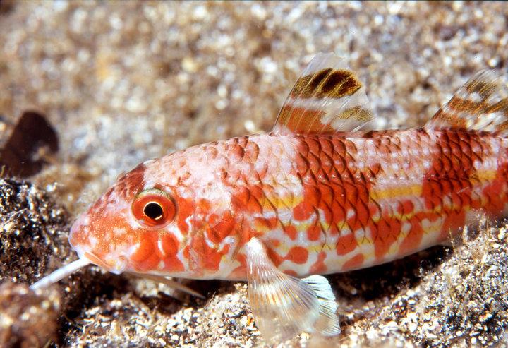 Tropicalizzazione del Mediterraneo -Triglia Upeneus luzonius - Linosa (Sicilia) 2010