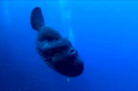 Tropicalizzazione Mediterraneo-Pesce Luna ,Mola mola,Sunfish- Gozo - Malta 21-08-2014