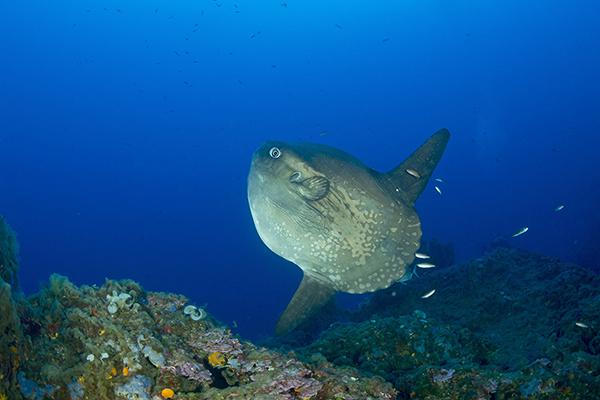 Tropicalizzazione Mediterraneo-Pesce Luna,Mola mola-Santo Stefano,Imperia Foto:Franco Banfi