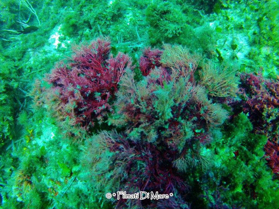 asparagopsis taxiformis - Favignana- Scoglio Galera 03-10-2012