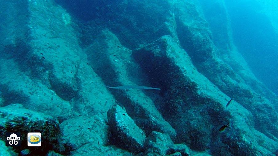 Tropicalizzazione Mediterraneo - Pesce flauto ad Ischia 22-11-2014 [foto di Nemo Ischia]