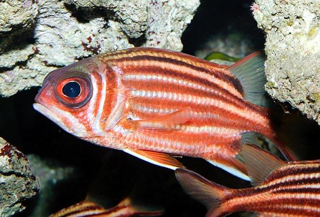 Pesce scoiattolo ,Sargocentron rubrum - pesce armato rosso - Redcoat Squirrelfish