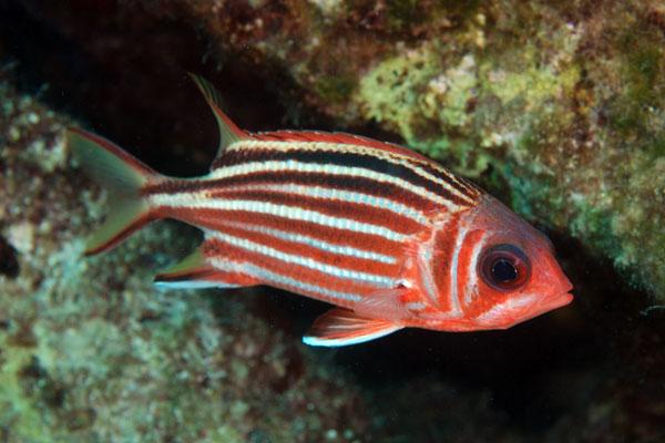 Pesce scoiattolo sargocentron rubrum e pesce scoiattolo rosso for Uova di pesce rosso